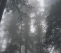 Fog in California's Redwood National Park.