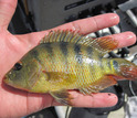 Non-native Mayan cichlid fish suffered major declines as a result of the extreme cold snap.