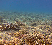 Branching corals on the shallow Mo'orea outer reefs.