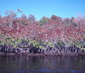 The freeze killed the tops of red mangrove trees along the Shark River shoreline.