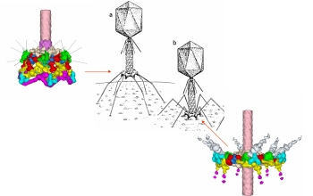 Detailed images of bacteriophage T4 component structures