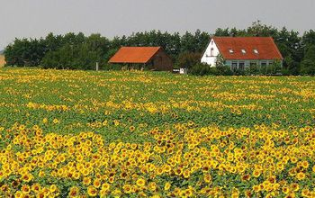 sunflowers in a  farm field next to houses