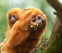 tamarin monkey dad and baby  on a branch