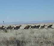 A herd of pronghorn antelope running through grass.