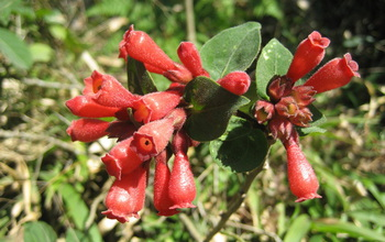 Knock-your-eyes-out red: A flowering plant native to Mexico called early jessamine or red cestrum.
