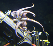 An octopus on a submersible.