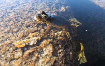The endangered Sierra Nevada yellow-legged frog sitting on a rock