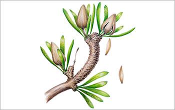 Reconstruction of the ancient, dinosaur-era relative of today's Ginkgo biloba plant.