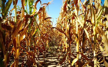 Golden-brown stalks of corn on cracked dirt