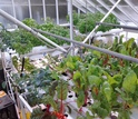 greens in pots growing in greenhouse