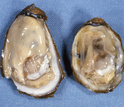 Healthy (left) and diseased (right) eastern oysters. The diseased oyster is infected with Dermo.