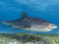 A tiger shark above seagrass. Scientists have found a surprising link between the two.
