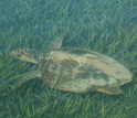 A sea turtle swims through a bed of seagrass in Shark Bay, Australia.