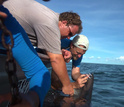 Attaching a satellite tag to a shark