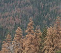 Dead pine and fir trees in Sequoia National Park during the recent California drought.