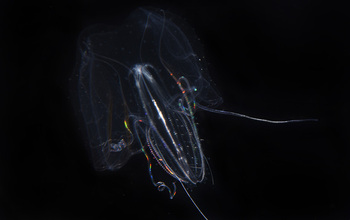 Found only in shallow waters, this ctenophore swims with wings spread like those of a biplane.
