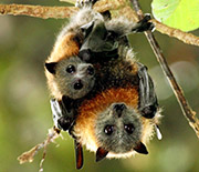 A female grey-headed flying fox roosts with young in a subtropical rainforest in New South Wales.