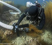 Sargassum horneri is fed into a vacuum device