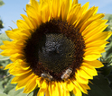Honeybees visit a mature sunflower. Here, the bees are collecting nectar rather than pollen.