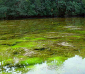 Algae blooms caused by fertiziler washed into coastal water