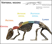 A modern-day opossum shows the addition of a fifth region in the backbone, the lumbar region.