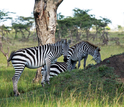 Zebras graze the short grass growing atop a termite mound in Kenya.