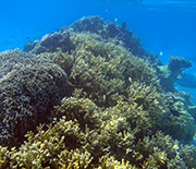 A Moorea lagoon patch reef that's dominated by live coral.