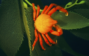 The loss of kelp forests from destructive storms decreases habitat for species like this kelp crab.