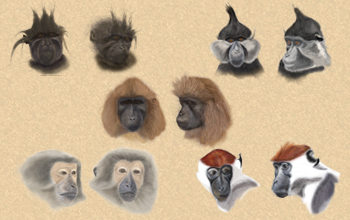 Researchers have yet to fully agree on how to classify all mangabey species