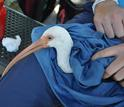 White ibis  being examined