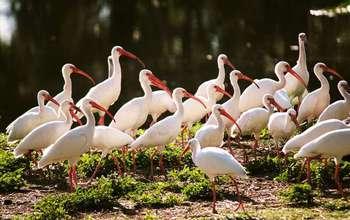 White ibises flock