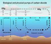 Graphic showing the biological pump in the ocean.