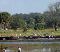 White ibises by a lake