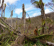 Tropical forest after being damaged by Hurricane Maria.