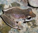 a booroolong frog