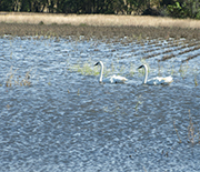 Swans in a flooded farmed depression