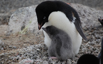 close up image of an Adélie penguin with chick