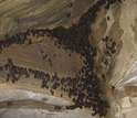 Hibernating bats in the Aeolus Cave in Vermont