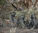 Two adult female baboons and an infant rest in the shade while a third female approaches.