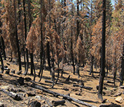 A thinned mixed-conifer forest one year after a high-intensity fire in the Tahoe National Forest.