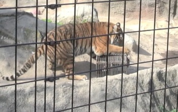 An Amur tiger swiping at a box.