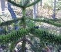 An Araucaria tree near Villarrica,