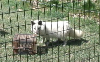 An arctic fox next to a box