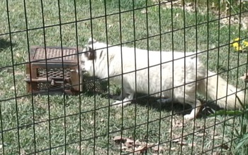 An arctic fox pawing at a box.