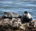 Two seals in Russia's Lake Baikal