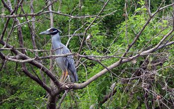 Earth's forests support myriad species, including this yellow-crowned night heron in Belize.