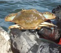 blue crab in person's hands