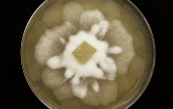 Dimensions of Biodiversity researchers are studying a soil fungus in culture on malt extract agar.
