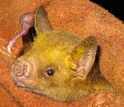 The Cuban fruit-eating bat, a species in the Greater Antilles, where it eats fruit, visits flowers.