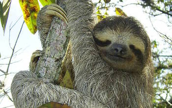 Three-toed sloths lead slow-motion lives, in keeping with their adaptations to arboreal niches.